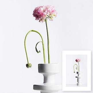 Ranunkel in einer weissen Vase