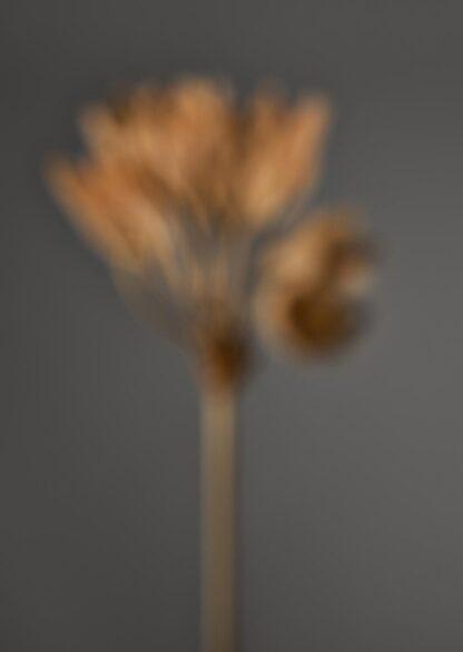 Unscharf aufgenommene, vertrocknet braune Primel auf dunkelgrauem Hintergrund