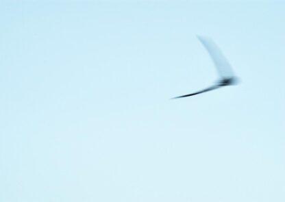 Ein fliegender Mauersegler, in der Bewegung verschommen