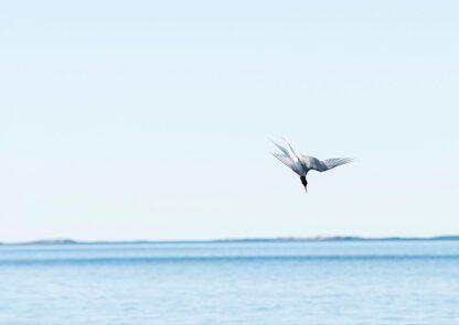 Eine Seeschwalbe im Sturzflug