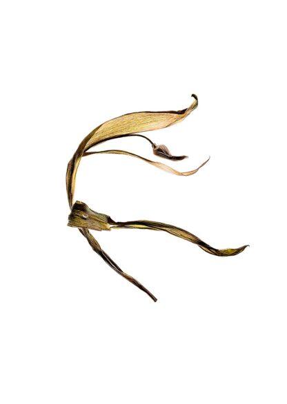 Eine vertrocknete Tulpe in einer bizarren Form, die an einen Kobolt erinnert