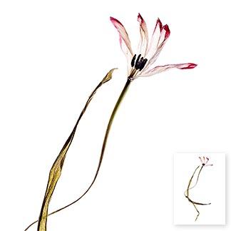 Eine vertrocknete Tulpe in der Form einer winkenden Hand