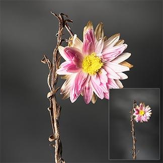 Eine kleine, vertrocknete Blumen auf dunklem Hintergrund